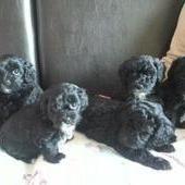 Adorable Poodle X 1 4 Shihtzu Pups Male Female 0 8