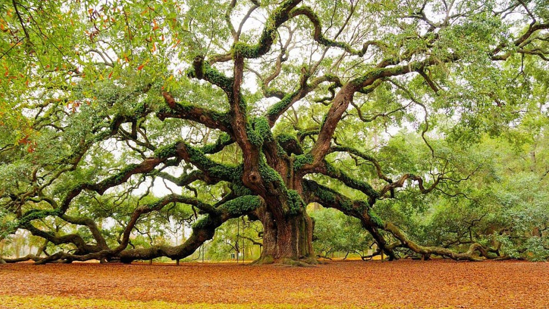 Angel Oak | Angel oak trees, Live oak trees, Tree photography