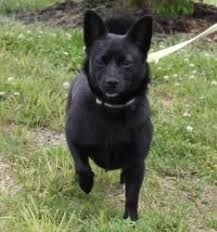 Image Result For Schipperke Mix Corgi Chihuahua Mix Dog