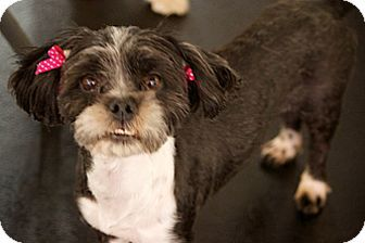 Pictures Of Cookie A Shih Tzu Maltese Mix For Adoption In Studio City Ca You Might Not Believe My Story But It Is True I Was Hit Dog Adoption Shih Tzu