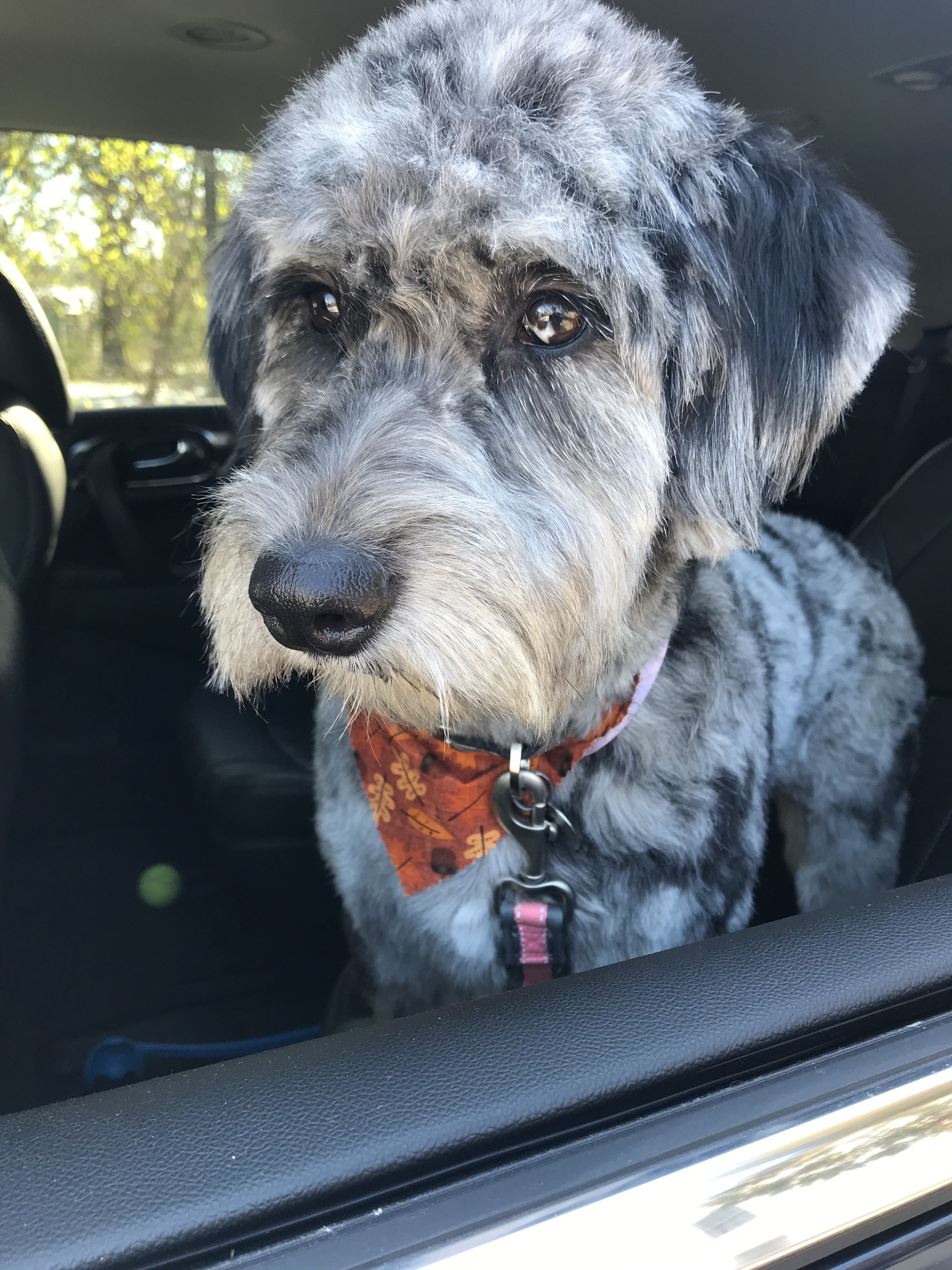 Pin by CJ Sachs on Aussiedoodle Aussiedoodle, Dogs, Animals