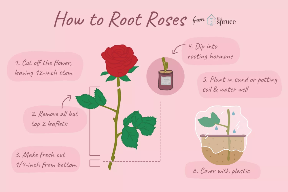 How to Grow Roses From Cuttings is part of Rose care, Rose cuttings, Hybrid tea roses, Growing roses, Rooting roses, Planting roses - Most types of garden roses can be grown from stem cuttings fairly easily  Learn how to grow roses from cuttings in just a few simple steps