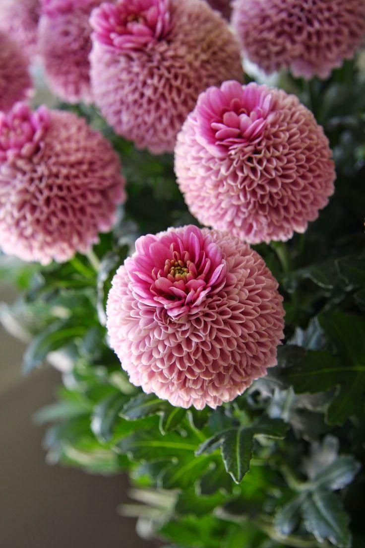 Chrysanthemum crown jenny pink flower garden at farm beautiful