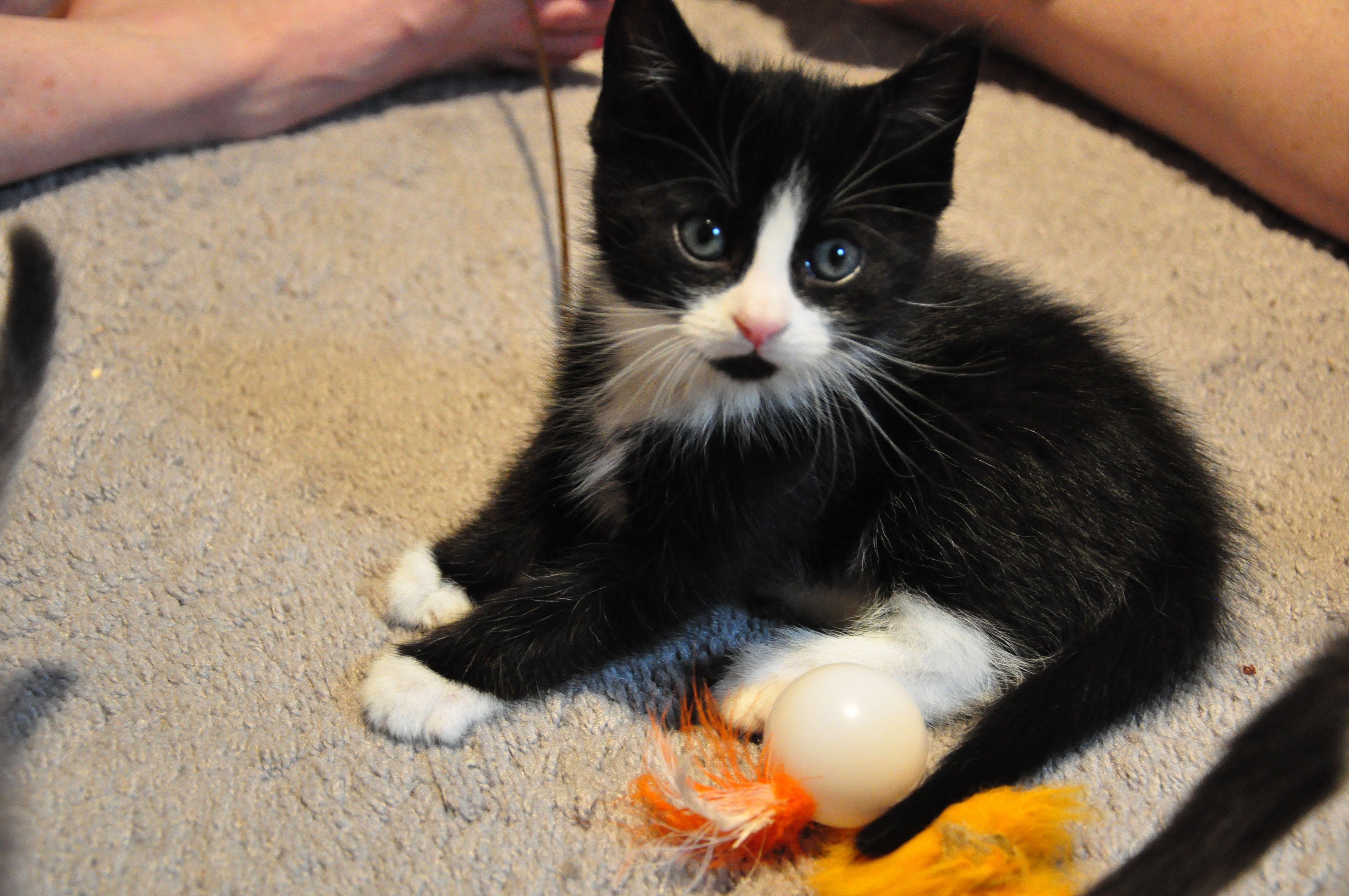 Tuxedo Cat Names Perfect Choice Tuxedo cats and Cat