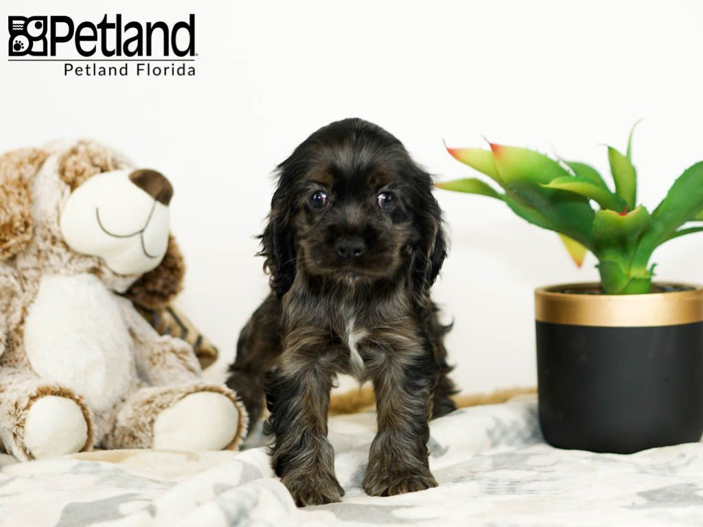 Petland Florida Has Cocker Spaniel Puppies For Sale Check Out All