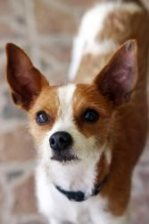 Adopt Rico Full Of Joy And Love On Chihuahua Mix Jack