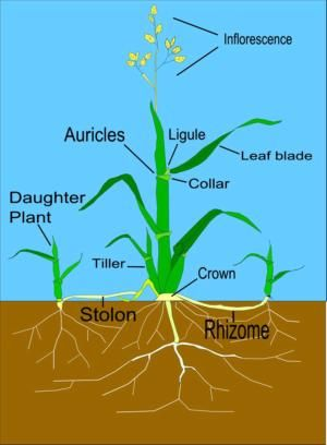Diagram of grass plant nature journals nature walks pinterest diagram of grass plant ccuart Image collections