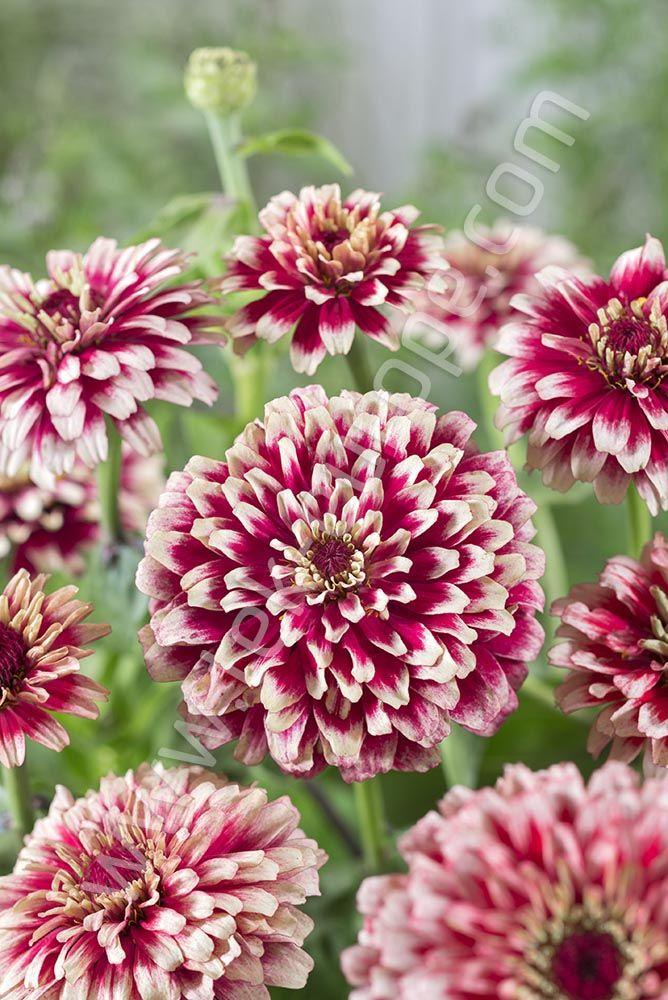 Cynia Jest Jednym Z Bardziej Popularnych Kwiatow Ogrodowych Znakomicie Sprawdza Sie Zarowno W Przydomowych Kwietnikach Jak I W Pojemnikach Na Tarasie Lu Plants