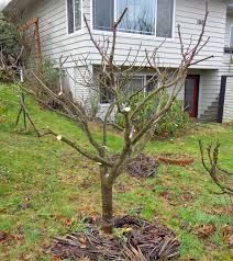 Image Result For Pruning Fig Trees Fan