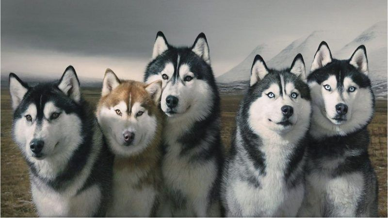 The Different Types Of Siberian Huskies Beautiful Dogs Most