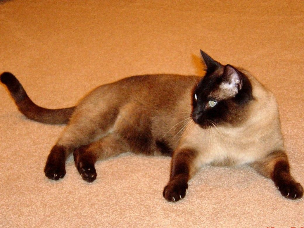 Chocolate Point Burmese Google Search Cats Seal Point Siamese