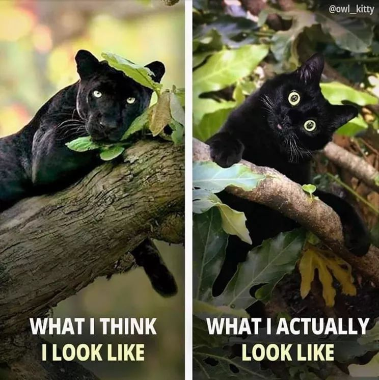 Black Panther Black Cat Cute Funny Animals Funny Animal Memes Animal Memes