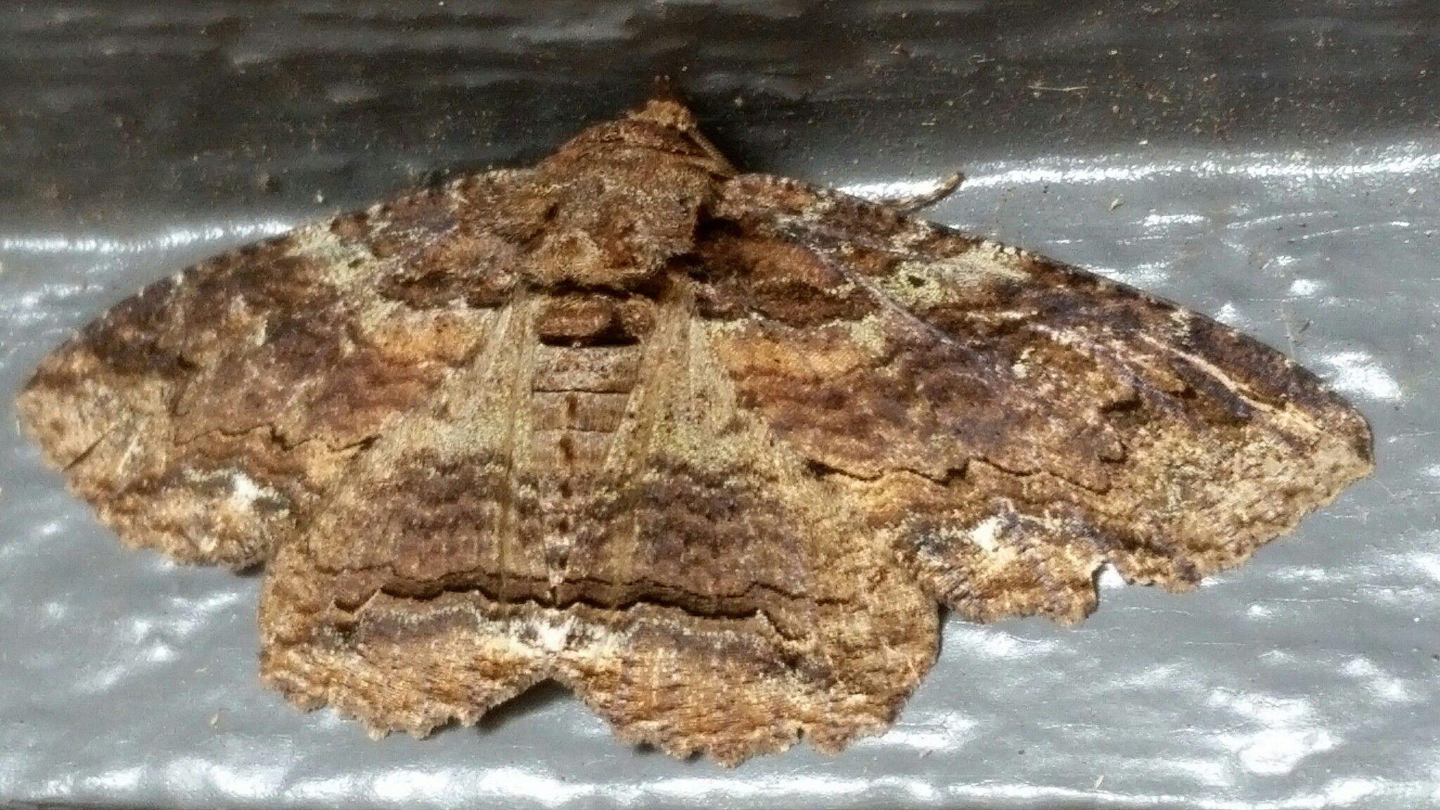 Zale lunate  (Moth)