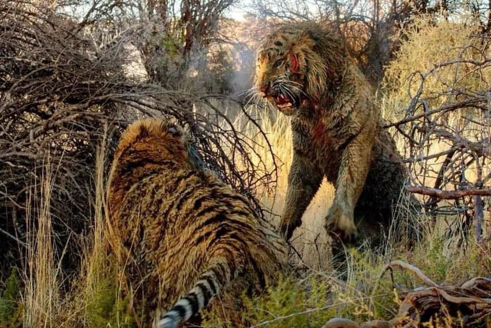 Pin by David James on Animals Wildcats Tiger attack