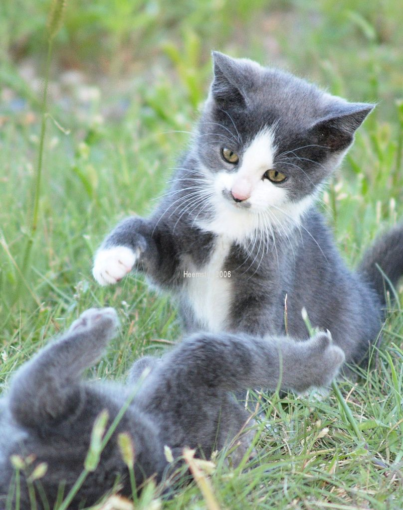 Kittens Playing Pretty Cats Kittens Cute Animal Pictures