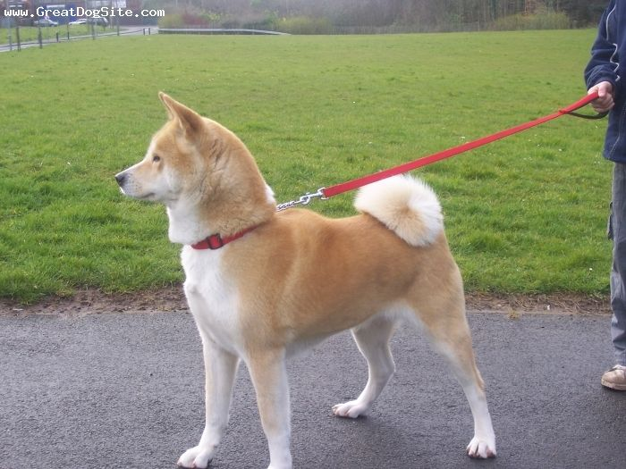 A Photo Of A 5 Years Old Red Akita Inu Japanese Akita Inu Female Greatdogsite Com Akita Akita Dog Japanese Akita