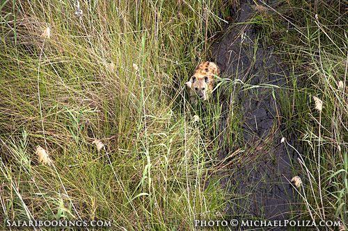 Spotted #hyena @ Okavango Delta in #Botswana. See #Okavango travel guide: http://www.safaribookings.com/okavango