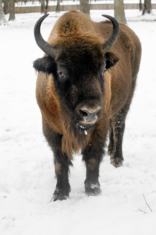 Bizon in harsh winter in Białowieża National Park
