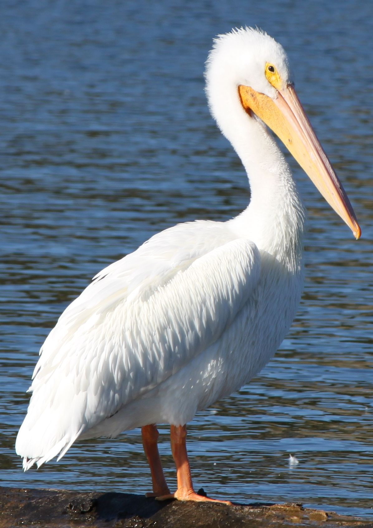 Images Of Pelicans