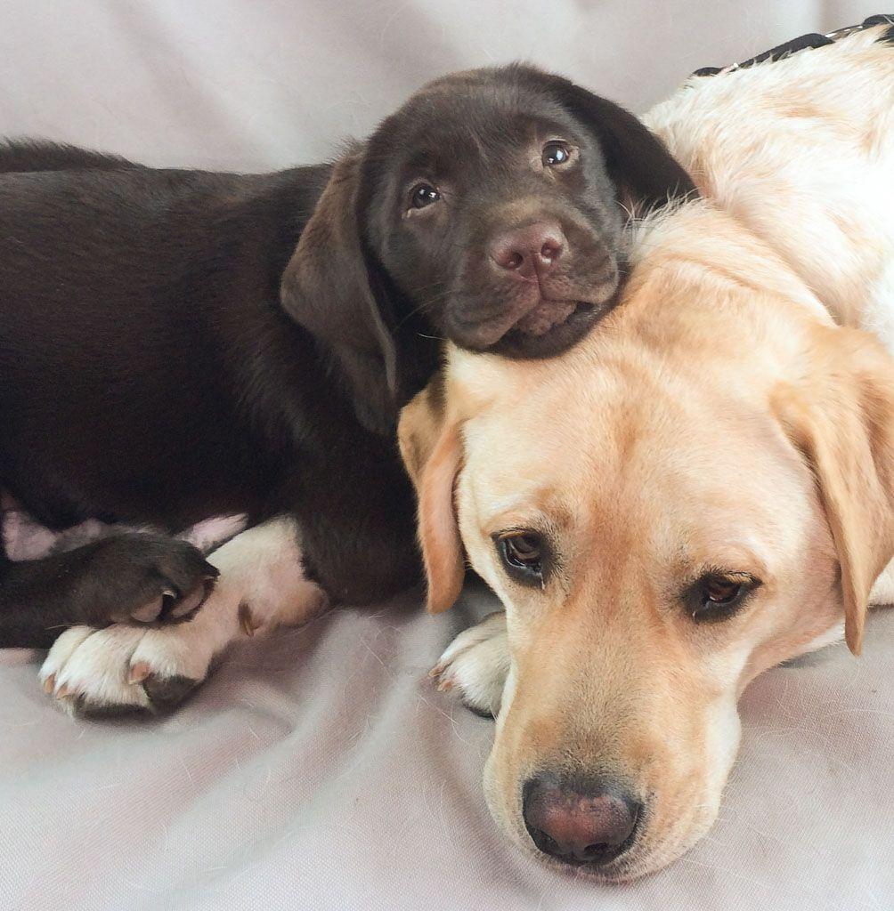 Blondie Brownie Micook Black Labrador Retriever Lab Puppies Dog Mom
