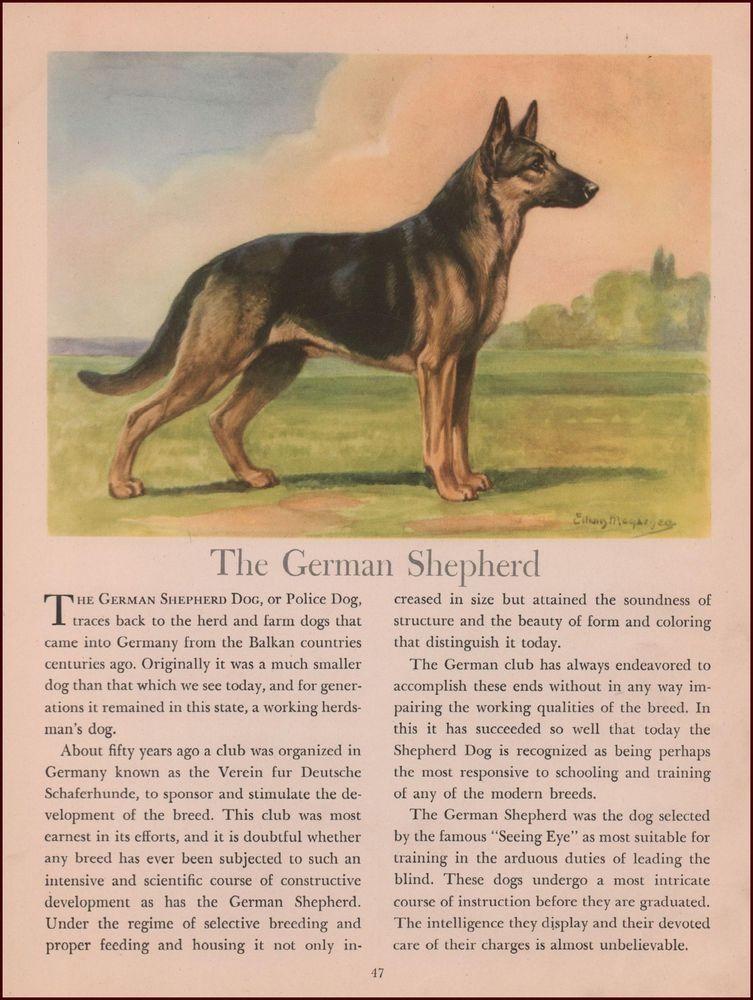 German Shepherd Dog By Edwin Megargee Vintage Print Authentic