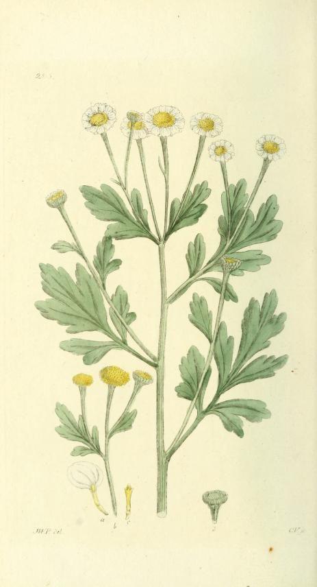 Pyrenthrum Parthenium With Images Botanical Illustration Botanical Painting Botany Illustration