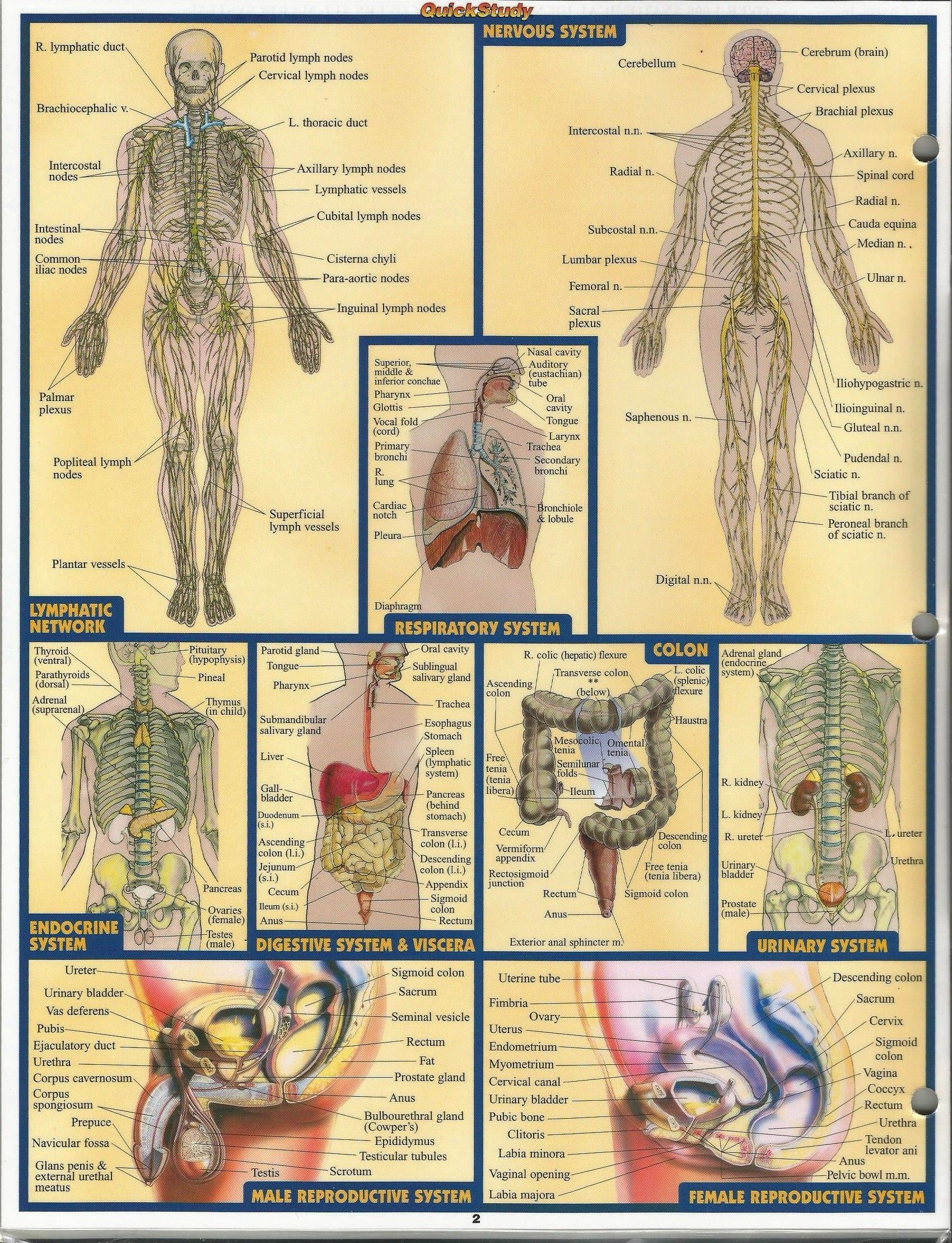 Intraabdominal Systems. | THE HUMAN BODY | Pinterest | Female ...