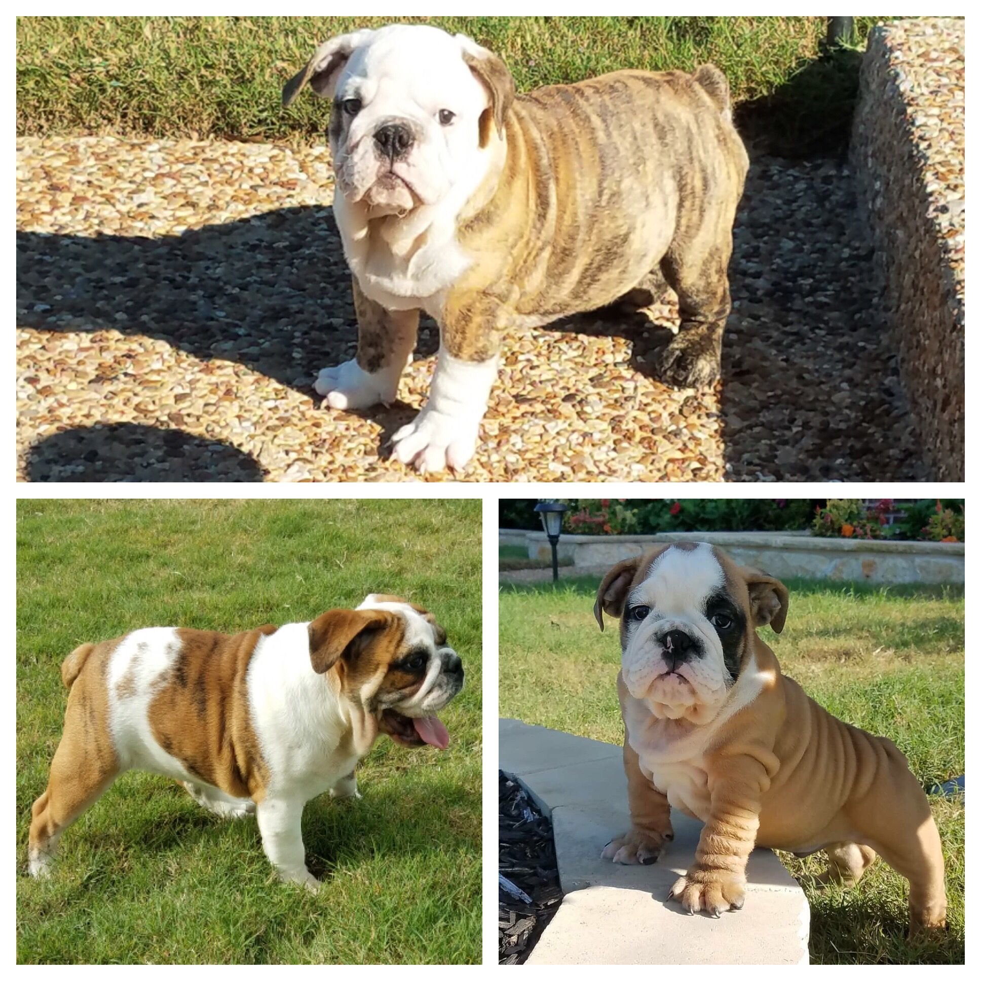 We Have The Following 3 Male English Bulldog Puppies Available