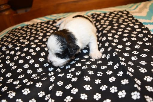 Litter Of 6 Shihpoo Mix Puppies For Sale In Wetumpka Al Adn