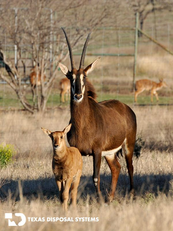 Sable Antelope at the #TDS Exotic Game Ranch #antelope, #horns ...