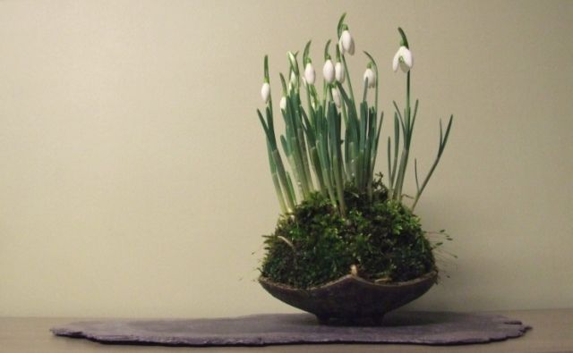 Snowdrops Blooming Plants Bonsai Garden Planting Flowers