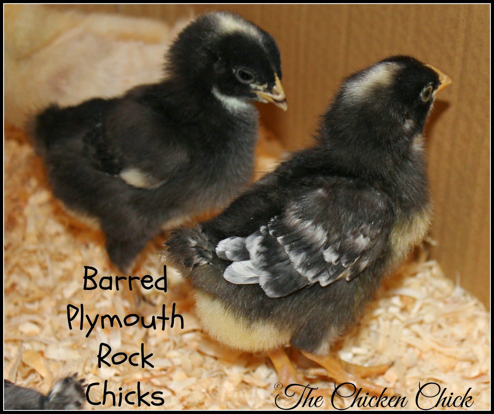 how to chickens male or female hen or rooster hens