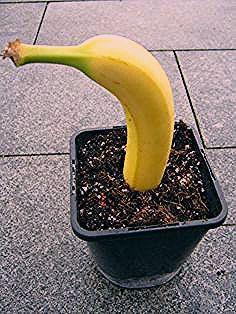 Photo of Wie man aus einer Banane eine neue Pflanze zieht – Das Grüne Netzwerk