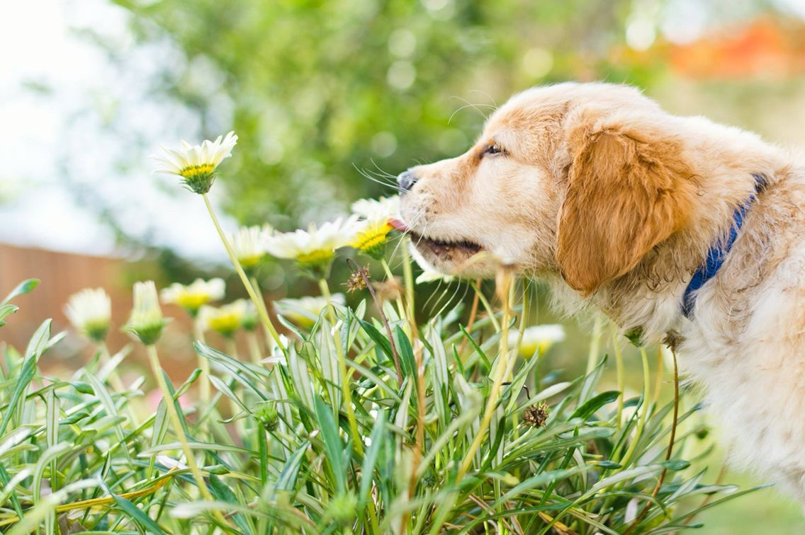 Oska The Assistance Dog In Training Shows His Support For Earthday Beautiful Image Courtesy Of The Gehrmanns Photography Assistance Dog Dogs Golden Retriever