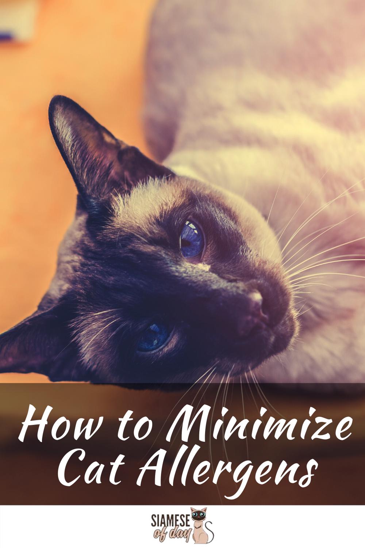 Are Siamese Cats Hypoallergenic? siameseofday in 2020
