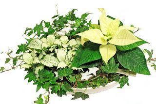 http://holmsundsblommor.blogspot.se/2009/12/vita-blommor-och-blad.html White Christmas decoration julstjärna, murgröna och åderblad