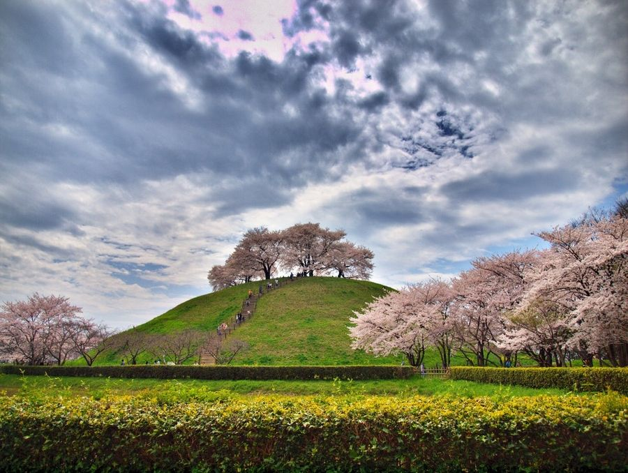 Cherry Blossom Hill Japan Cherry Blossom Japan Landscaping On A Hill Flowering Trees
