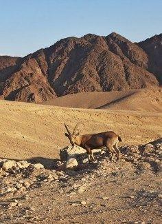Ibex In Eilat, Israel Desert