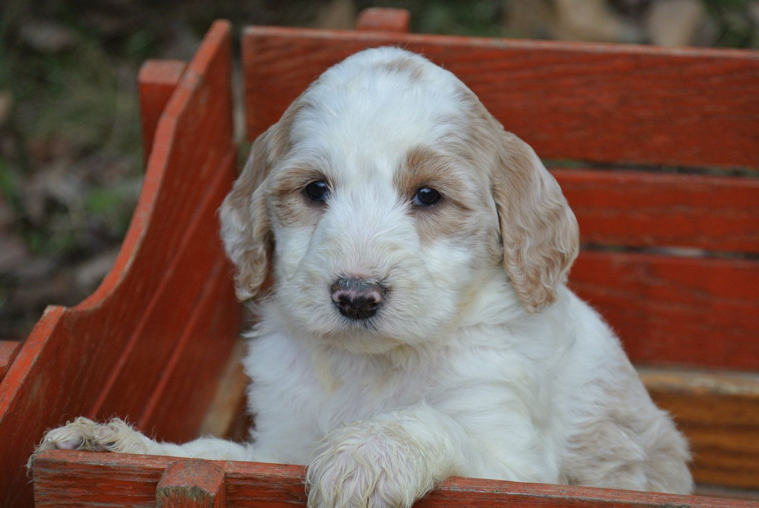 Sheepadoodle Puppies Characteristics Pictures Advantages Colors Sheepadoodle Puppy Puppy Adoption Kittens And Puppies