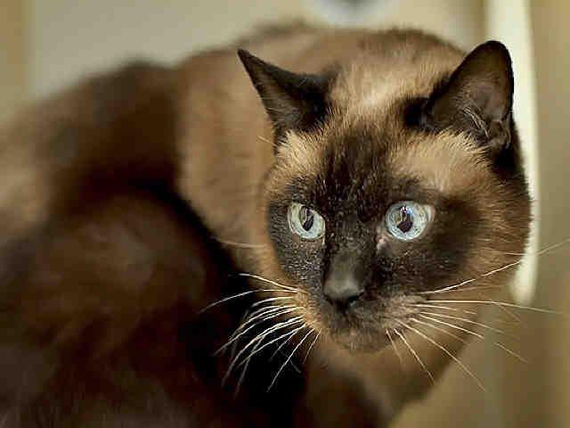 Meet Beautiful Blue Eyed Sweet Senior Siamese Princess Pressy Sweetheart At Wphs Pittsburgh Pa Petharbor Com Cat Adoption Animals Cats And Kittens