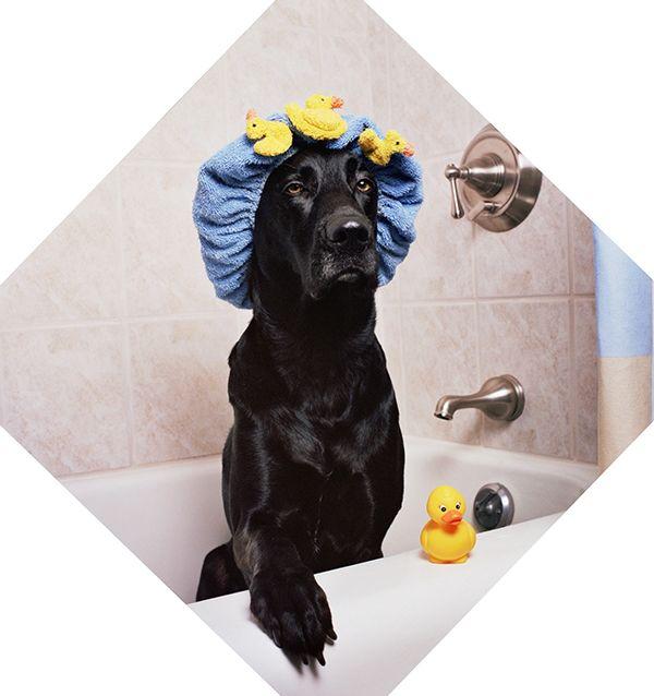 Bathing And Grooming Your Labrador Dog Uti Dog Training Kill