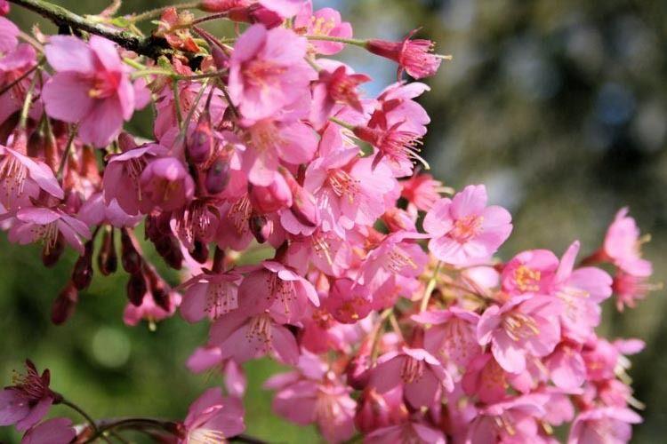 Prunus Kursar Flowering Cherry Kursar Cherry Kursar Pink Flowers Spring Flowers Pink Ch Ornamental Cherry Flowering Cherry Tree Cherry Tree Varieties