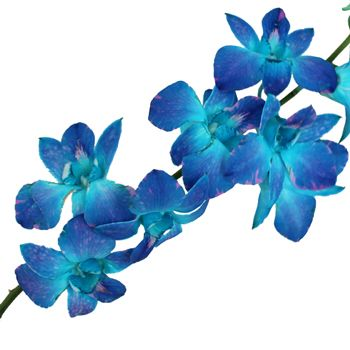 Blue Raspberry Orchid Flower Fiftyflowers Com Blue Orchid Flower Delphinium Flowers Blue Dendrobium Orchids