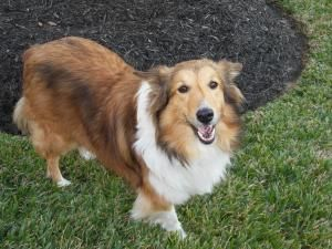 Dottie Shetland Sheepdog Sheltie Dog Houston Tx Miniature