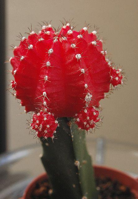 Moon Cactus Care