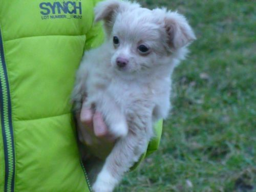 Wuschliges Langhaar Chihuahuamadchen Welpe Chihuahua Welpen Chihuahua Welpen