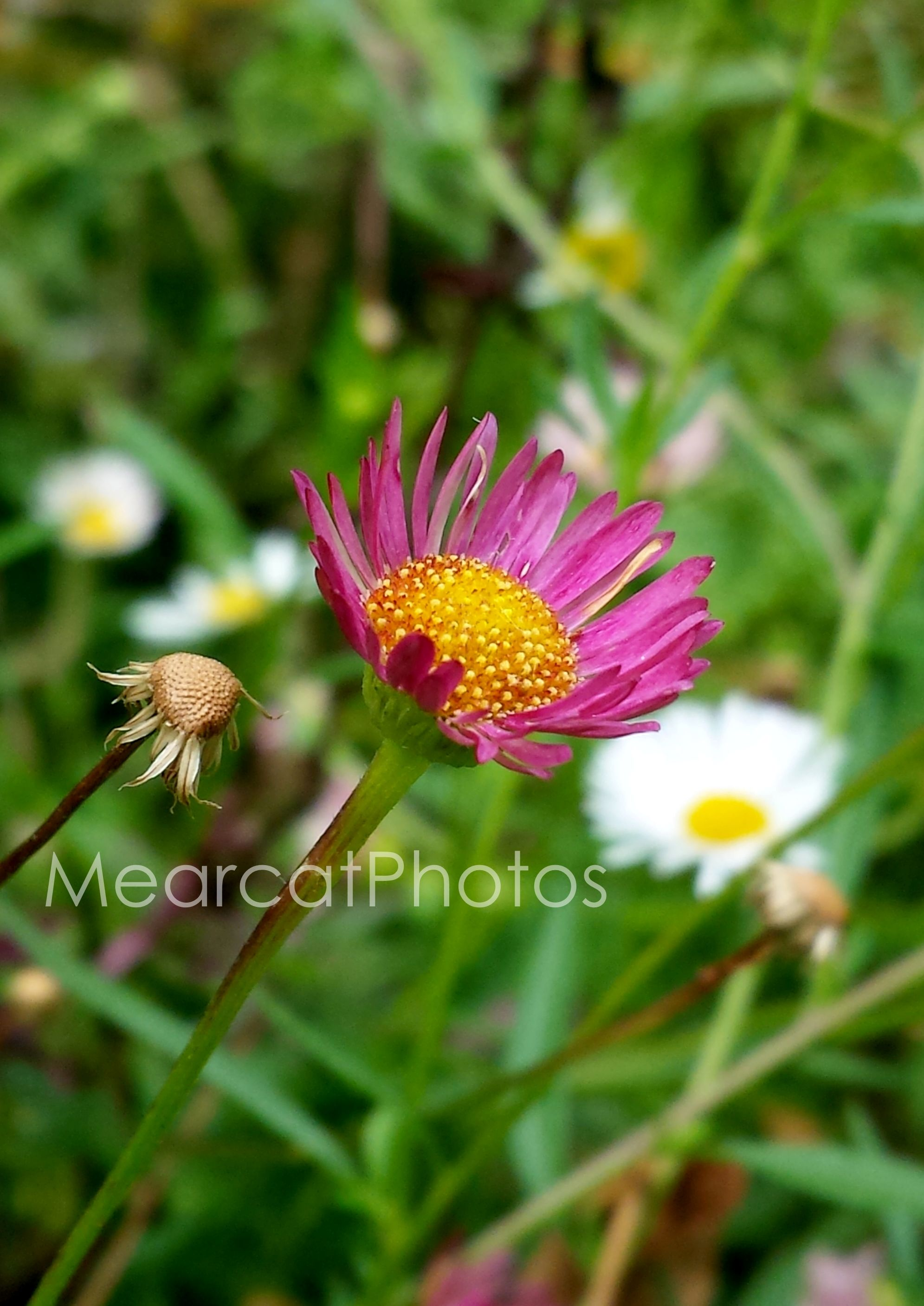White pink purple shasta daisy flower photography daisies white pink purple shasta daisy flower photography izmirmasajfo