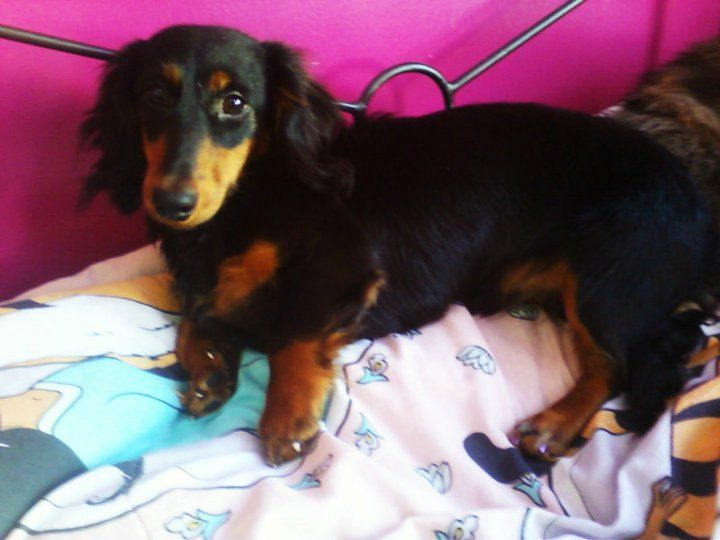 This Is Capone He Is A Long Haired Dachshund And Came From A