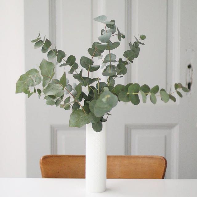 Eucalyptus Pflanze