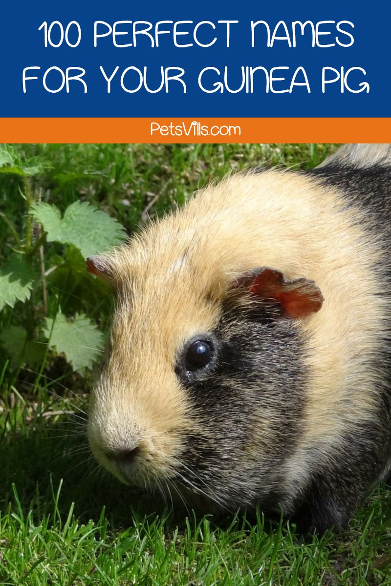 42+ Cool guinea pig coloring pages ideas in 2021